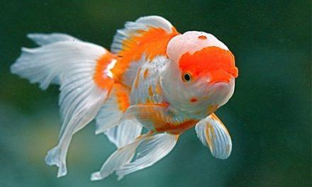 پرورش ماهی زینتی